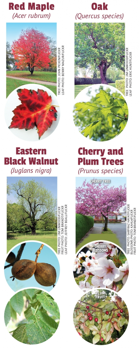 toxic plants, toxic trees, toxic horse, horse toxic, horse poison, equine poison